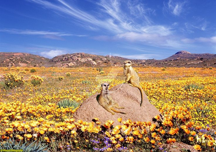 Meerkats between the Namaqualand flowers in Cape Town, South Africa
