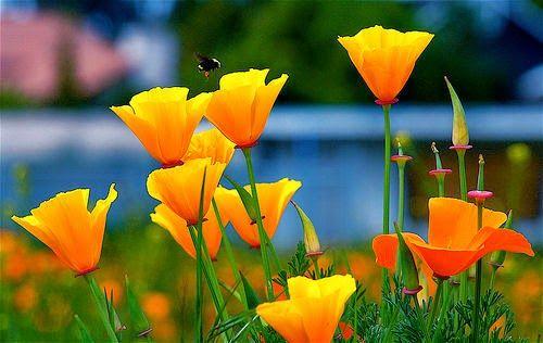 Het Slaapmutsje (Eschscholzia Californica), is een helder goud-oranje bloem die volop groeit aan de  westkust van de Verenigde Staten. Het is het symbool van de staat Californië en is ook wel bekend onder de naam California Poppy.