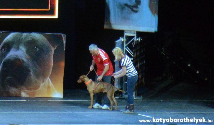 Cesar Millan Live Budapest - Káró, a magyar vizsla gazdájával és Cesarral  #kutya #dog #cesarmillanlive #cesarmillan #vizsla #kutyabaráthelyek
