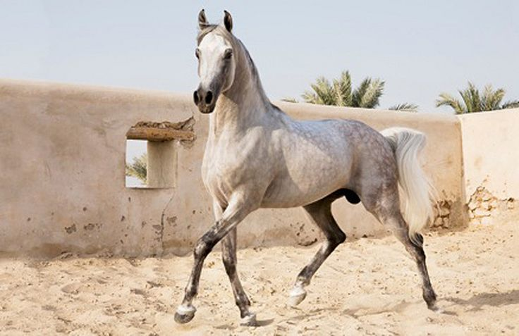 horses of qatar grey stalion is playing
