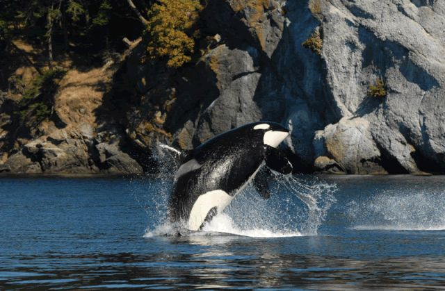 Oldest orca among endangered Southern Resident population believed to be dead, whale center saysQ13 FOX Seattle
