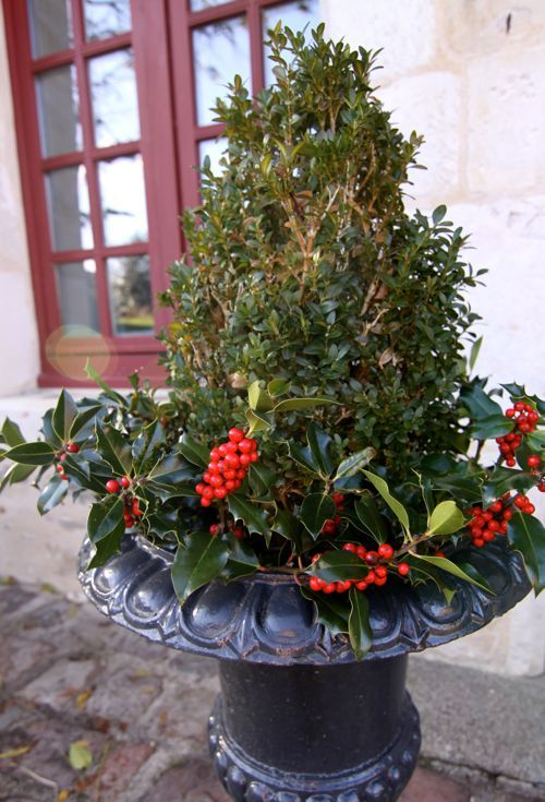 Holly in the greenery.:  Flowerpot