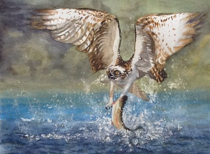 Osprey catching breakfast from a photograph by Andy Rouse