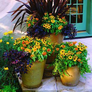 Arrange a spectacular fall display in the garden with phormium, loropetalum, rudbeckia hirta, Zinnia 'Profusion Orange,' and creeping fig.