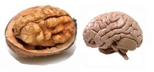 A Walnut looks like a little brain, a left and right hemisphere, upper cerebrums and lower cerebellums. Even the wrinkles or folds on the nut are similar to those of the neo-cortex. Scientists claim that walnuts help in developing over three dozen neuron-transmitters within the brain enhancing the signaling and encouraging new messaging link between the brain cells. Walnuts help warding off dementia.