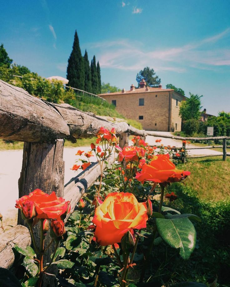 Everything's blossoming in Pomaio. The roses on the bridge are welcoming our guests as never before! You should come and see them with your eyes.  #thinkgreendrinkred #poderedipomaio