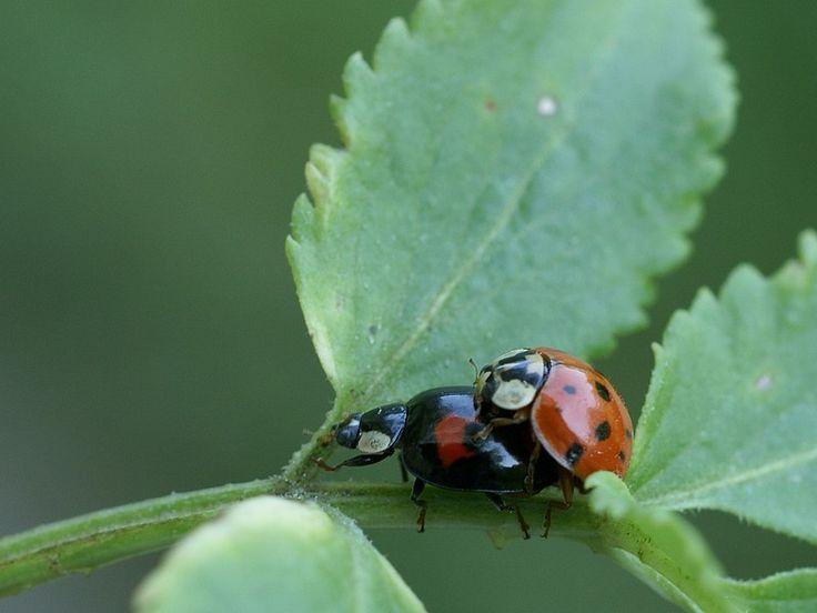 http://faaxaal.forumactif.com/t2141-photo-de-coleoptere-coccinelle-asiatique-harmonia-axyridis-coccinella-axyridis-asian-lady-beetle