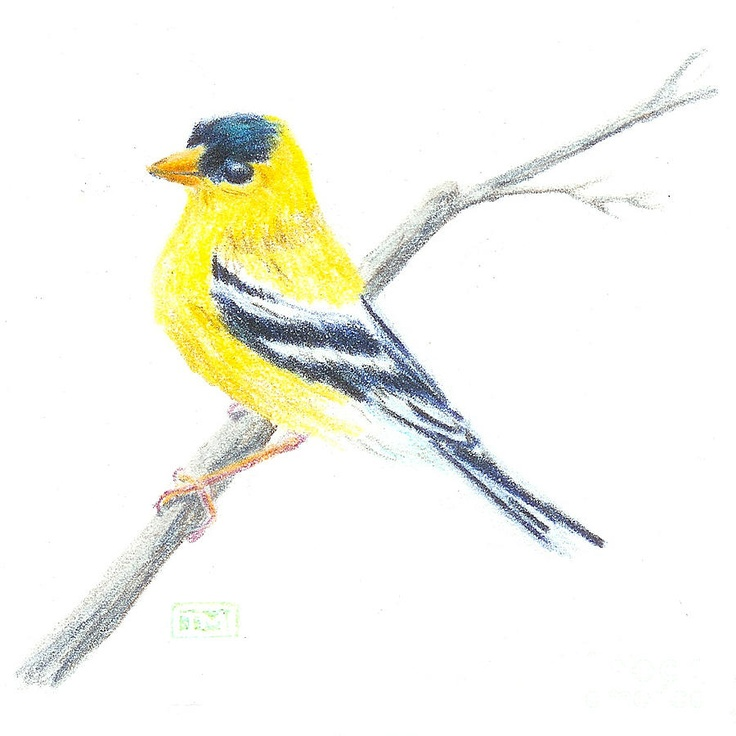 American Goldfinch Sketch Drawing | Drawing how to ...