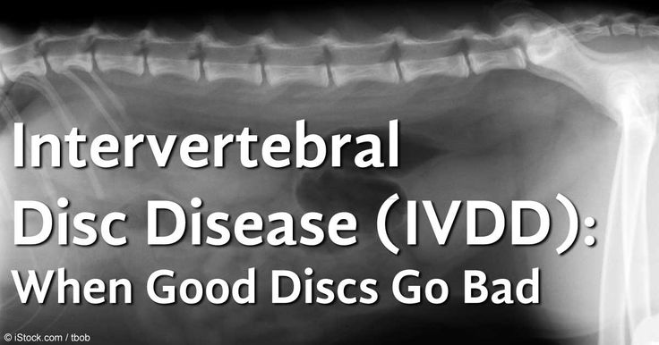 Intervertebral disc disease (IVDD) is a serious neurologic condition that's seen more often in dogs than cats. http://healthypets.mercola.com/sites/healthypets/archive/2012/12/10/intervertebral-disc-disease.aspx