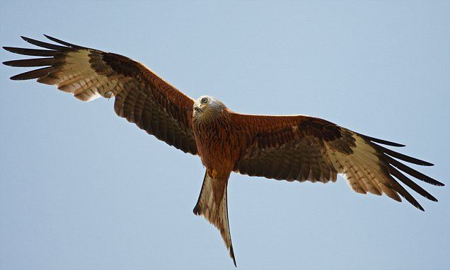 Skinnydippers caught out when red kites steal their underpants