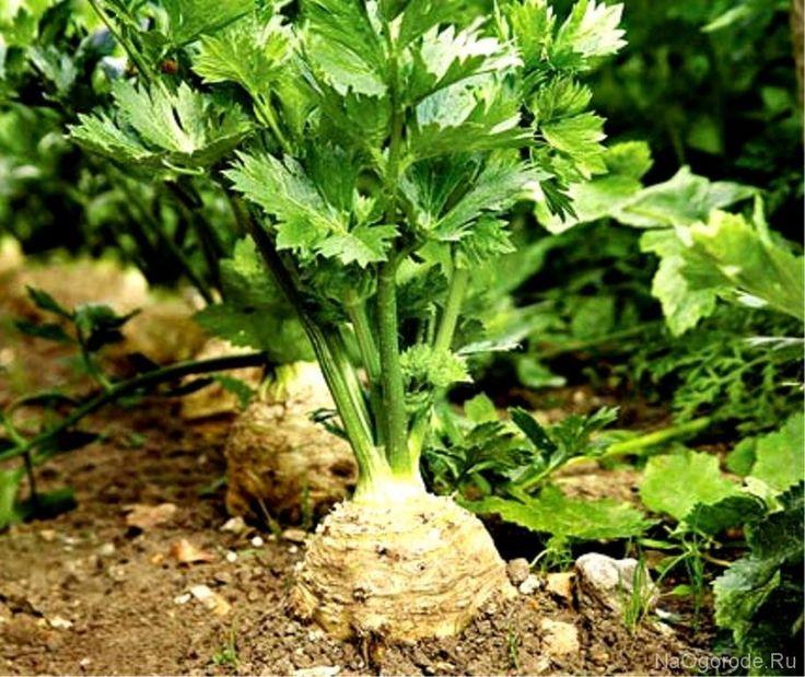 Как выращивать сельдерей в саду? Главные секреты