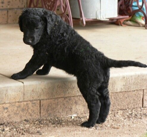 25 best ideas about curly coated retriever on pinterest