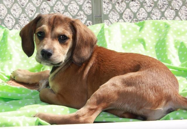 Meet Iphone, an adoptable Beagle looking for a forever home. If you're looking for a new pet to adopt or want information on how to get involved with adoptable pets, Petfinder.com is a great resource.