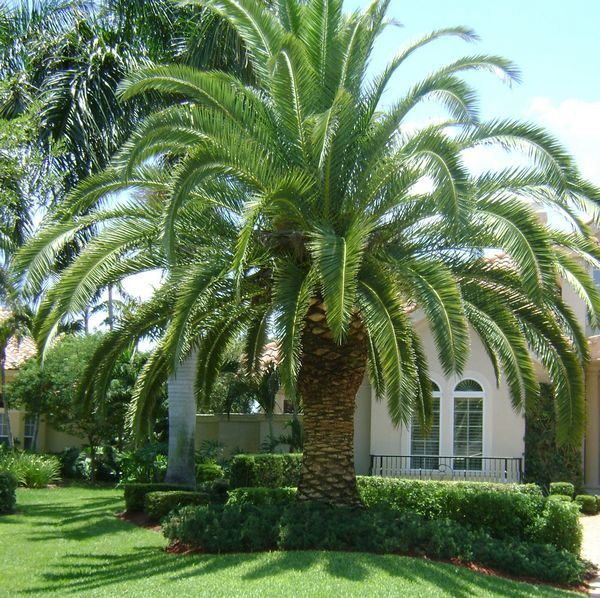 Why does FL not have more of these canary date-palm trees that are ...