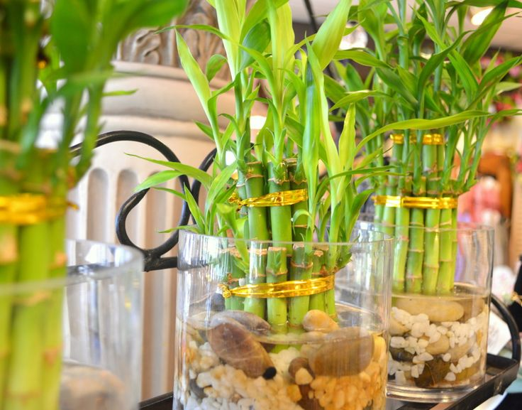 Potted Lucky Bamboo Plant Care – Air Media Design