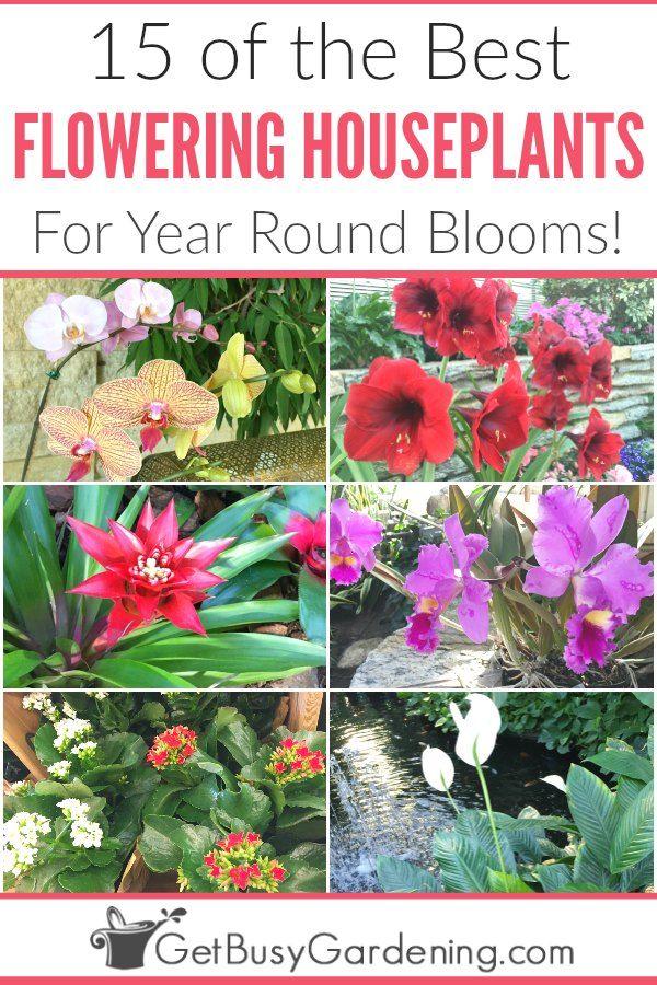 15 Of The Best Flowering Houseplants Indoor Flowering Plants