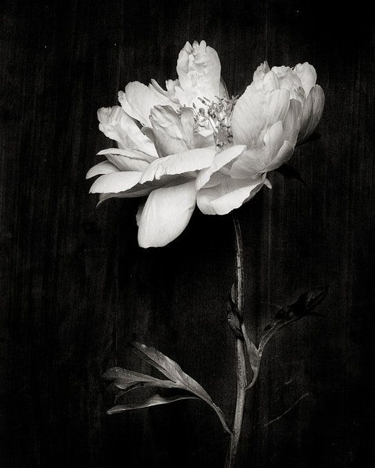 Botanical black and white no 5807 by kariherer