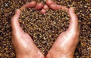 Ebay Item: Fresh Hemp Seeds- 100 Seeds! FREE SHIPPING!!