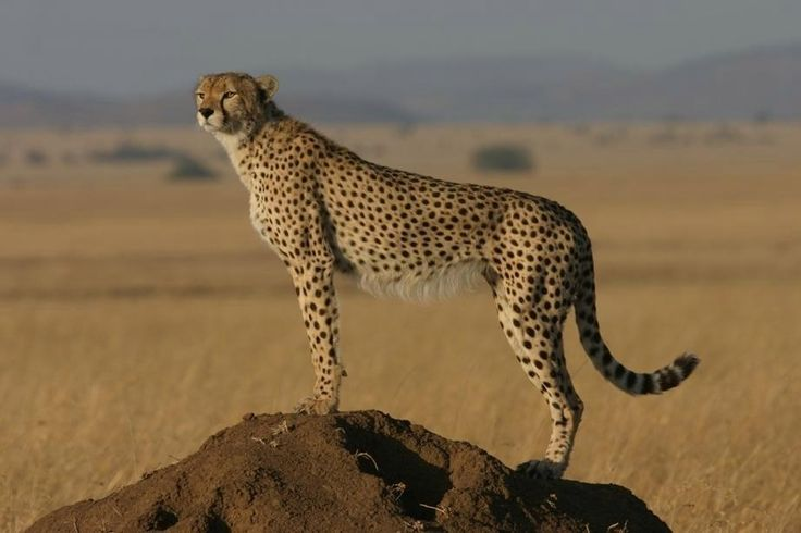 cheetah pet | The world's fastest animal the cheetah is hurtling towards extinction ...