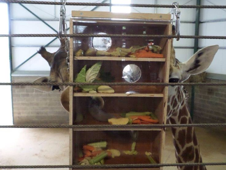 Cool giraffe enrichment.