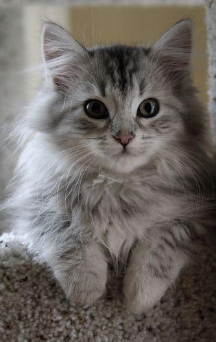 Siberian kitten https://nl.wikipedia.org/wiki/Siberische_kat De Siberische kat (ook wel Siberische boskat genoemd) is een kat afkomstig uit Rusland. Ze maken het proteïne FELD-1 minder aan, waardoor minder mensen allergisch zijn voor deze katten.[
