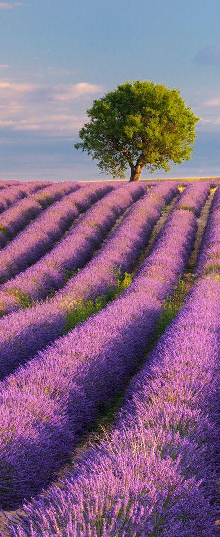 .~Lavender fields, Provence, France~.