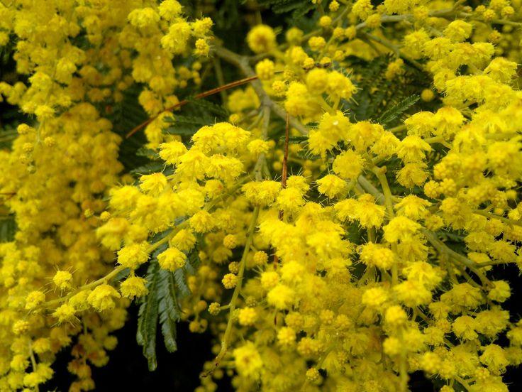 Los aromos, florecen © Claudia Mellado Ñancupil