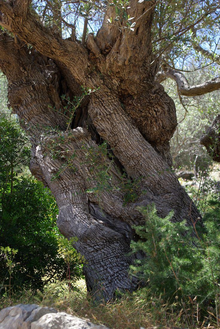 Ancient olive trees near port de soller mallorca