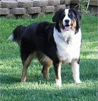 The Border Collie is widely considered the smartest dog breed in the world.