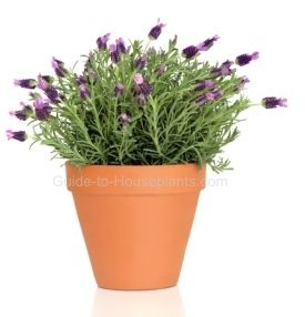Find out how to grow lavender as a houseplant. Discover plant care, tips for growing lavender plant indoors, planting and pruning lavender.