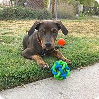 Doberman Pinscher Mix Puppy for adoption in Los Angeles, California - Cisco