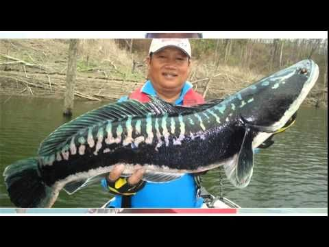 Snakehead fish for sale online cheap information click here for your free guide http://www.discusfishforsale.info/snakehead-fish-for-sale-online/
