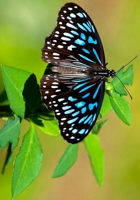 Blue tiger Butterfly via Bird's Eye View at www.Facebook.com/aBirdsEyeViewForYou