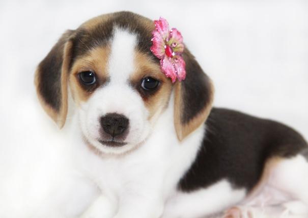 pocket beagle