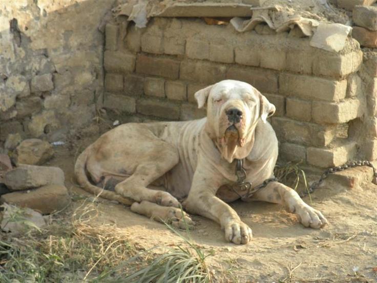 pakistani mastiff - photo #15