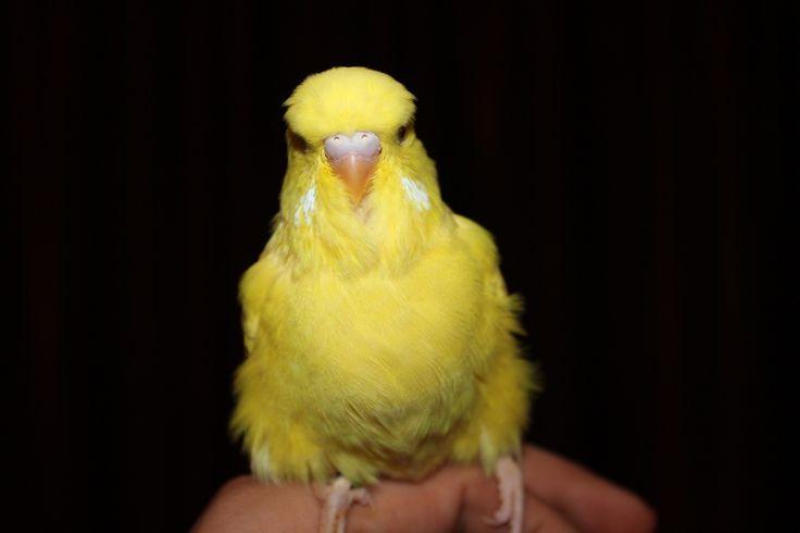 Птенцы 2013 года - выставочный волнистый попугай