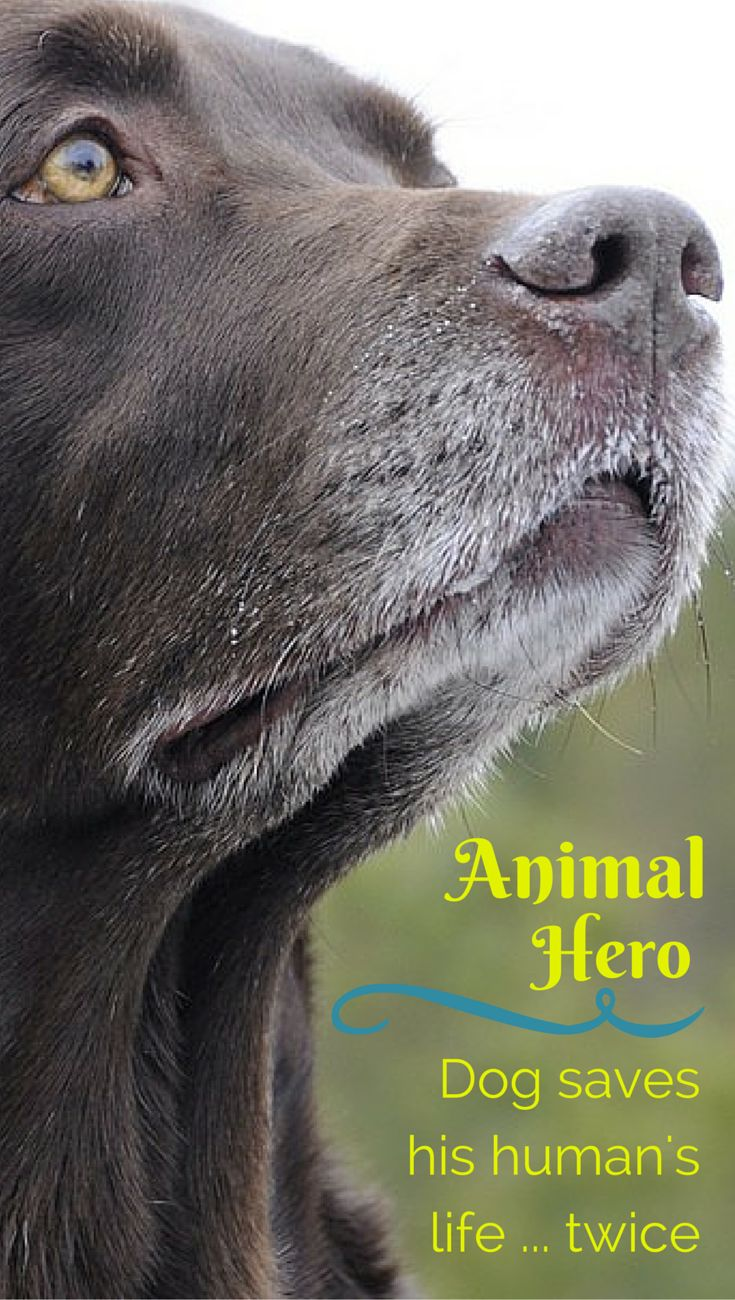 Dog saves his owner's life not once, but TWICE. In just 4 years. Incredible story of this animal hero at the link.