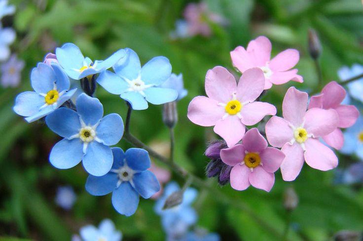 Незабудки - цветок любви