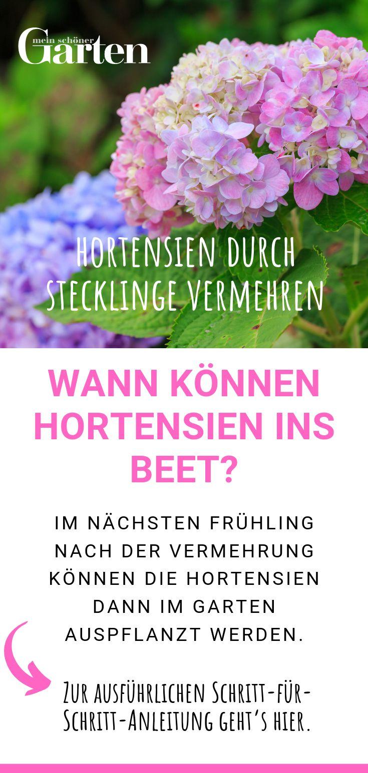 Hortensien durch Stecklinge vermehren: Wann können vermehrte Hortensien ins Beet?