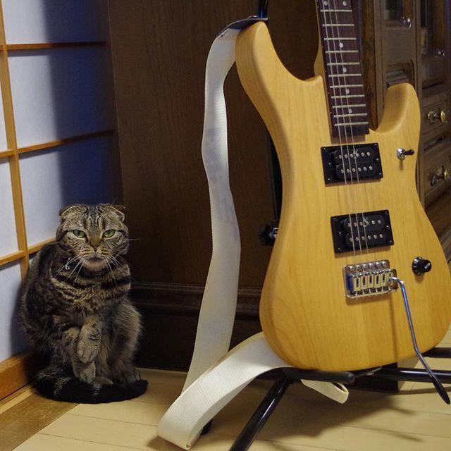 """Please don't say """"You are lazy"""" だってほんとはくれいじぃっ 白鳥たちはそう 見えないとこでバタ足するんですっ♫😺 …け、けいおん!?😎💦 #スコティッシュフォールド #スコティッシュ #scotishfold  #ネコ #ねこ #猫 #cat #愛猫 #にゃんこ #にゃんだふる #ねこ部 #mycat #CatPic #CatPhoto #Catstagram #StandupCat #CatAndGuitar #猫とギター🐱🎸 #立って歌う猫としてデビューさせたいw😎😼👍✨"""