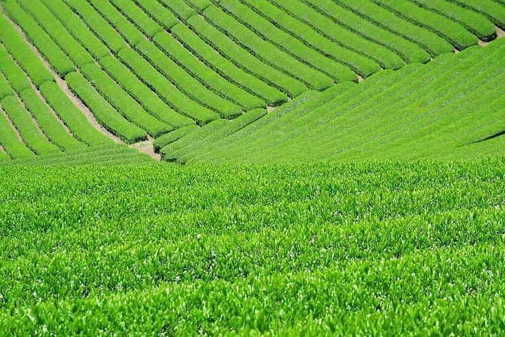 Japanese Tea Plantations 日本の茶畑