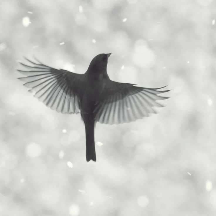 Junco in flight 3 - Dark eyed Junco flying in Snow Winter first snow nursery art decor christmas gift idea black and white photography. $30.00, via Etsy.