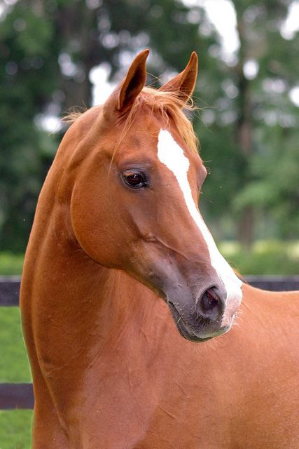Chestnut Arabian Horse..no matter the color they are all glorious!