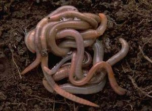 What worms should you compost with?