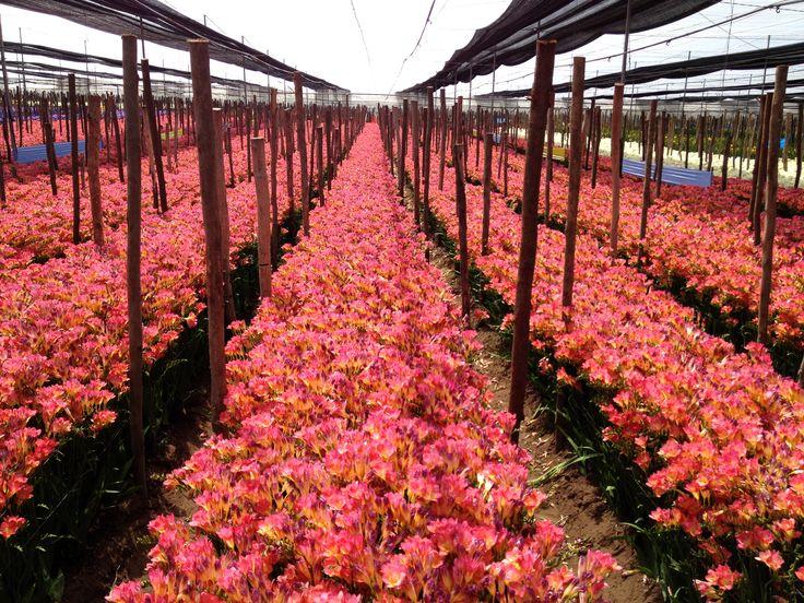 #PrettyinPink : flowering #freesia 'Sandra' in Morocco