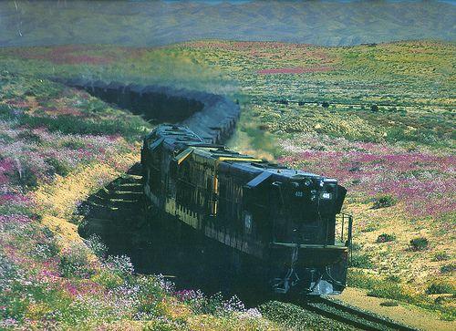 Desierto florido. Desierto de Atacama. Chile.