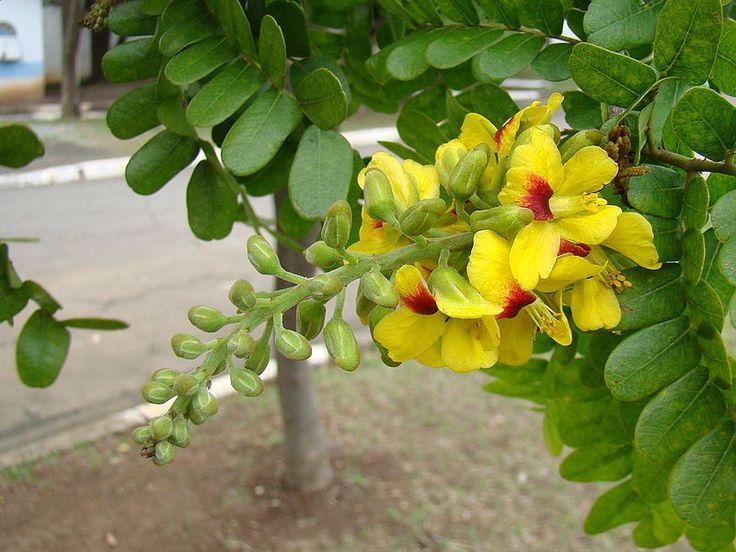 Paubrasil31 - Paubrasilia echinata – Wikipédia, a enciclopédia livre