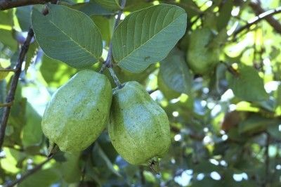 Tips On Harvesting Guavas: When Is Guava Fruit Ripe -  In the right climate, USDA zone 10, guavas can bear copious quantities of fruit but knowing when to harvest guava can be the tricky part. How do you know when guava fruit is ripe and how do you harvest guava fruit? This article will help.