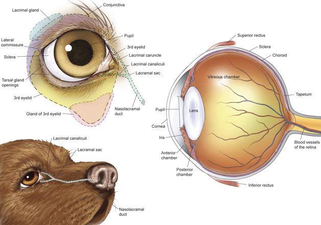 anatomy eye canine   dog canine eye drawing sketch image illustration