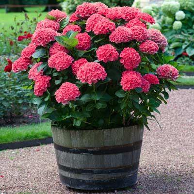 Red Sensation Hydrangea Garden And Outdoors Pinterest